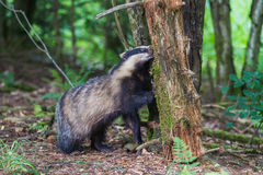 European badger. The European badger (Meles meles) is a species of badger in the family Mustelidae and is native to almost all of Europe. It is classified as Stock Photo