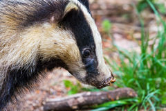European badger. The European badger (Meles meles) is a species of badger in the family Mustelidae and is native to almost all of Europe. It is classified as Stock Image