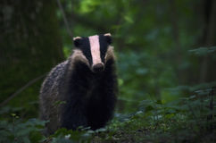 European Badger Royalty Free Stock Photo