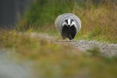European badger running in a deep forest. Big Black and white mammal in its natural environment. Beautiful autumn portrait of adorable animal royalty free stock photo