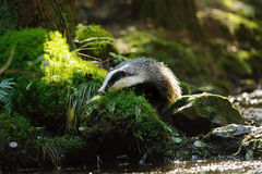 European badger Royalty Free Stock Photography