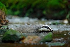 European badger swimming in forest creek. Cute mammal in dark stream. Animal behaviour in the nature, Germany, Europe. Nature stock photography