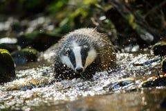 European badger. Walking in the forest strem Stock Images