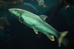 European barbel (Barbus barbus). Wildlife animal royalty free stock photo