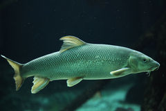 European barbel (Barbus barbus). Wildlife animal royalty free stock image
