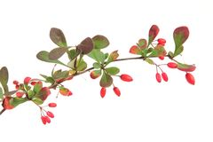 European barberry (Berberis vulgaris) Stock Image