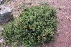 European Barberry, Berberis vulgaris. Detail of leaves, branches and fruits of European Barberry, Berberis vulgaris. Photo taken in Saliencia Valley, Somiedo Royalty Free Stock Photo