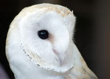 European Barn Owl Royalty Free Stock Photography