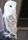 European Barn Owl Royalty Free Stock Images