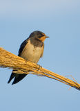 European Barn Swallow on reed Royalty Free Stock Images