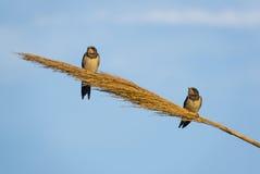 European Barn Swallows on reed Stock Photos