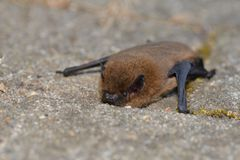 Common Noctule Nyctalus noctula. An European bat is climbing on a stone royalty free stock photography
