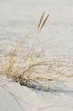 European beach grass. At the balic sea Royalty Free Stock Images