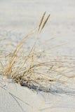 European beach grass Royalty Free Stock Images