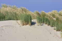 European beachgrass in Ameland dunes, Holland royalty free stock photo