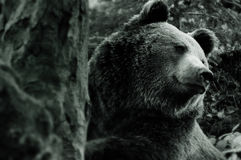 European bear Stock Photography