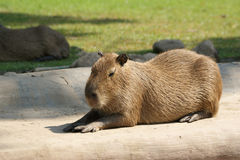 European beaver Royalty Free Stock Image