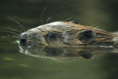 European beaver Stock Photo