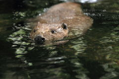 European beaver Stock Photos