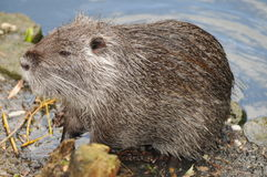 European Beaver. Adult beaver at the shore of a river in France Royalty Free Stock Photos