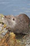 European Beaver Royalty Free Stock Photo