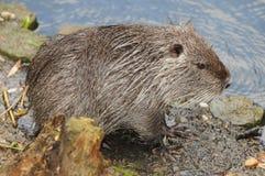European Beaver Royalty Free Stock Photos