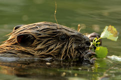 European Beaver Baby (Castor fiber) Royalty Free Stock Photography