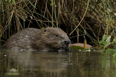 European Beaver (Castor fiber) Stock Photos