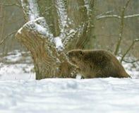 European beaver ( Castor fiber ) Royalty Free Stock Images