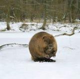 European beaver ( Castor fiber ) stock images