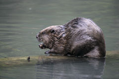 European beaver,  Castor fiber Royalty Free Stock Photo