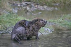 European beaver,  Castor fiber Stock Image