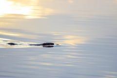 European beaver Castor fiber swimming in calm water Stock Images