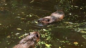 European beaver Castor fiber swimming in pond covered with lak stock photo