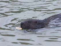European beaver, Castor fiber, swimming in winter river to the bread-ring, close-up portrait, selective focus Royalty Free Stock Images