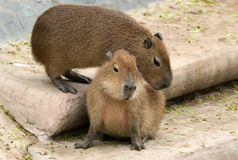 The European beaver or Eurasian beaver Royalty Free Stock Images
