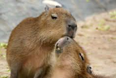 The European beaver or Eurasian beaver Royalty Free Stock Photos