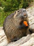 European Beaver Royalty Free Stock Image