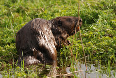 European beaver having a snack Stock Photo