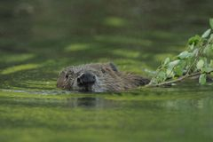 European Beaver Royalty Free Stock Photos