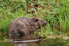 European beaver Royalty Free Stock Images