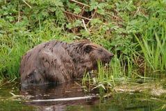 European beaver. Wild european beaver by the lakeshore Royalty Free Stock Images