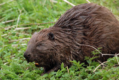 European beaver Stock Images