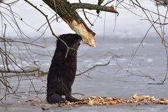 European beaver. Wildlife shot of european beaver,location Otrokovic,Czech republic stock image