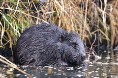 European beaver. Wildlife shot of european beaver,location Otrokovic,Czech republic Stock Photography