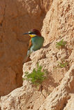 European bee-eater Royalty Free Stock Photography