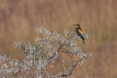 European bee-eater. (Merops apiaster) sitting on a branch Stock Photos