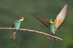 European bee eater Stock Photos