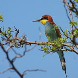 European bee eater Stock Photo