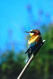 European Bee-eater. Resting on a branch Royalty Free Stock Photos